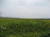 bokto-dsm-planted-rice-field-at-chondukri-sept-2006