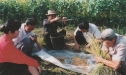 estimating-yield-of-rice-var-jinbu-at-wonhwa-farm-august1996