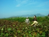 kim-duk-shin-mrs-d-c-chung-kim-joo-and-kim-ki-oakkorea-unification-network-inspecting-cotton-field-chonduk-ri-oct-2005
