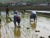 nkorea-rice-transplanting-guyonri-5-7-05