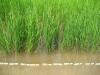 rice-varietal-test-august-2006
